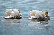 Swans... Digital Art Prints - True Love Print by Lois Bryan