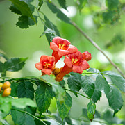 Trumpet Photo Originals - Trumpet Vine by Donna Caplinger