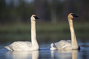 Baby Bird Prints - Trumpeter Swan Cygnus Buccinator Mother Print by Michael Quinton