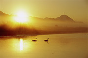 Sundown Prints - Trumpeter Swan Cygnus Buccinator Pair Print by Michael Quinton
