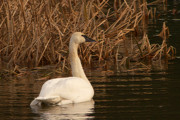Trumpeter Swan Framed Prints - Trumpeter Swan in the Reeds 3 Framed Print by Sharon  Talson