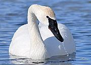 Trumpeter Swan Framed Prints - Trumpeter Swan Framed Print by Larry Ricker