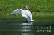 Trumpeter Swan Framed Prints - Trumpeter Swan on the Madison River Framed Print by Sandra Bronstein