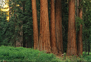 Woodland Scenes Posters - Trunks Of Giant Sequoia Trees Poster by Phil Schermeister