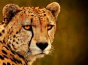 Cheetah Digital Art Prints - Try Me Print by Ricky Barnard