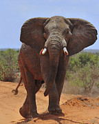 Dust Posters - Tsavo Elephant Poster by Tony Beck