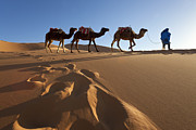 Animals On Train Framed Prints - Tuareg Man Camels & Dunes, Sahara Desert, Morocco Framed Print by Peter Adams