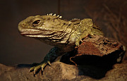 Endangered Species Metal Prints - Tuatara Metal Print by Alastair Stewart