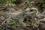 Featured Framed Prints - Tuatara Wellington New Zealand Framed Print by Piotr Naskrecki
