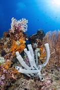 Raja Ampat Photos - Tube Sponge On Coral Reef In Raja by Todd Winner