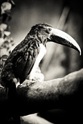 Black-billed Framed Prints - Tucan with Grain Framed Print by Darcy Michaelchuk