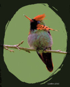 Tropical Bird Art Prints - Tufted Coquette Hummingbird Print by Larry Linton