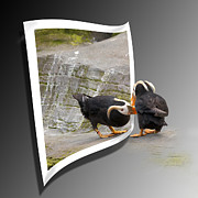 Oof Photos - Tufted Puffin by Betty Depee
