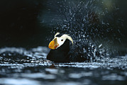 Puffin Photo Posters - Tufted Puffin Fratercula Cirrhata Poster by Konrad Wothe