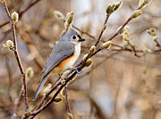 Titmouse Photo Originals - Tufted Titmoiuse 2 2012 by John Radosevich