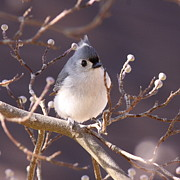 Topknot Art - Tufted Titmouse - Toward the Light by Travis Truelove