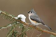 Tufted Titmouse Framed Prints - Tufted Titmouse Framed Print by Alan Lenk