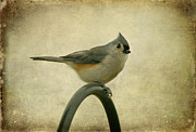 Gray Bird Framed Prints - Tufted Titmouse II Framed Print by Sandy Keeton