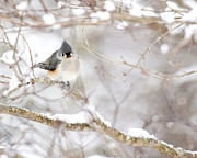 Winter Photographs Posters - Tufted Titmouse in Snow Poster by Rob Travis