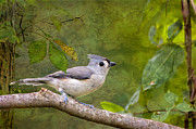 Tiny Bird Prints - Tufted Titmouse in the Forest Print by Bonnie Barry