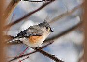 Josephine Johnston - Tufted Titmouse