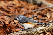 Tufted Titmouse Print by Larry Ricker