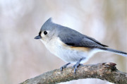 Tufted Titmouse Framed Prints - Tufted Titmouse on Dogwood 3 Framed Print by Thomas R Fletcher