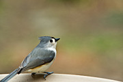 Baeolophus Bicolor Posters - Tufted Titmouse on Perch Poster by Douglas Barnett