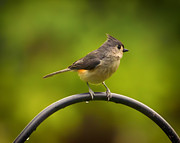 Gray Bird Prints - Tufted Titmouse on Pole Print by Bill Tiepelman