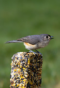 Gray Bird Prints - Tufted Titmouse on Treat Print by Bill Tiepelman
