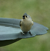 Gray Bird Posters - Tufted Titmouse Poster by Sandy Keeton