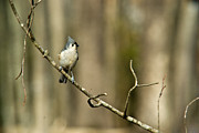 Baeolophus Bicolor Posters - Tufted Titmouse Spying Poster by Douglas Barnett