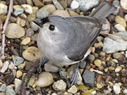 Stephanie Olsavsky - Tufted Titmouse
