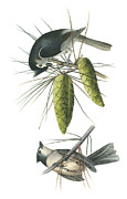 Titmouse Paintings - Tufted Titmoust by John James Audubon