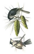 Tufted Titmoust Print by John James Audubon