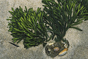 Aquatic Plants Prints - Tufts Of Codium Sp. Seaweed And Various Print by Darlyne A. Murawski