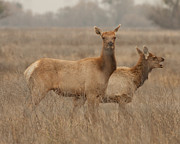Tule Elk Photos - Tule Elk Cows Merced County CA by Troy Montemayor