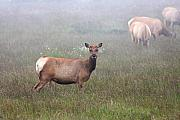 Tule Elk Photos - Tule Elk in fog by Wingsdomain Art and Photography
