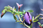 Mauve Roses Photo Acrylic Prints - Tulip Among Thorns Acrylic Print by Elaine Manley