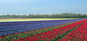 Ausra Paulauskaite Posters - Tulip and Hyacinth Fields in Holland. Panorama Poster by Ausra Paulauskaite