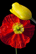 Dew Prints - Tulip and Iceland Poppy Print by Garry Gay
