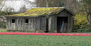Tulip Barn Print by Mitch Shindelbower