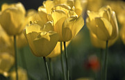 Tulip Bloom Prints - Tulip Bed in Yellow Print by Heiko Koehrer-Wagner