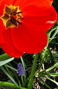 March Photos - Tulip Canopy  by Chris Berry