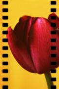 Design - Tulip Cinema by Cathie Tyler