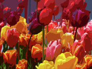 Colorful Flowers Prints - Tulip Confusion Print by Sharon  Talson