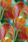 For The Home Digital Art Acrylic Prints - Tulip Fascination Acrylic Print by Donna Blackhall