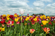 Environment Framed Prints - Tulip Festival One Framed Print by Josh Whalen