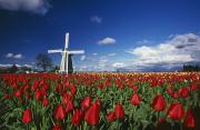 Flower Gardens Prints - Tulip Field And Windmill Print by Natural Selection Craig Tuttle