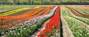 Travel Canada Framed Prints - Tulip Field Panorama Framed Print by Marion McCristall